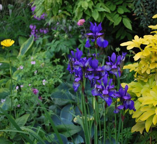 Iris in border........ (Iris sibirica (Siberian iris))