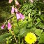 foxglove_and_pot_margold.jpg
