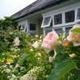 David Austin Roses (lilium Mackliniae)