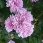 pink chrisanthemum 1