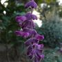 purple flowering sage 2
