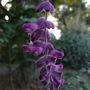 Purple_flowering_sage_2