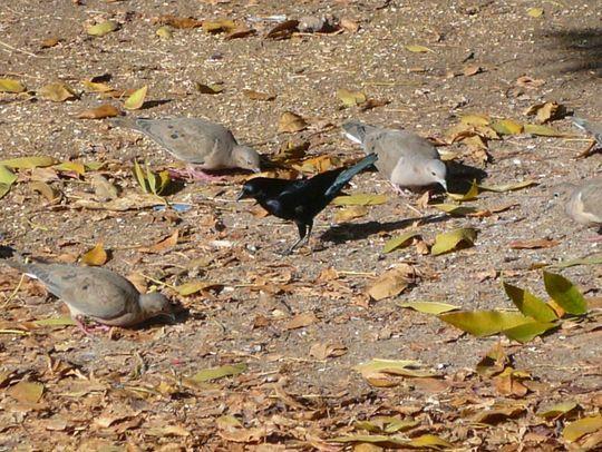 cowbird among doves campus Córdoba