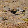 Cowbird_among_doves_campus_c_rdoba