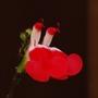 Salvia x jamensis