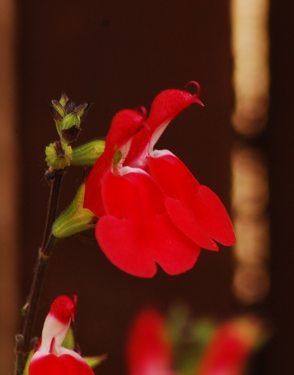 "Salvia ""Hot Lips"" 3 (Salvia x jamensis)"