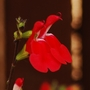 Salvia &quot;Hot Lips&quot; 3 (Salvia x jamensis)