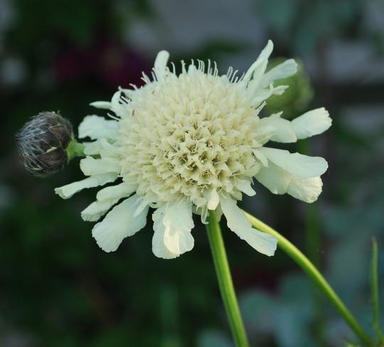 Cephalaria Gigantea. (Cephalaria gigantea (Giant scabious))