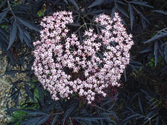 Sambucus Nigra 'Black Lace' (Sambucus nigra (Black Elder))