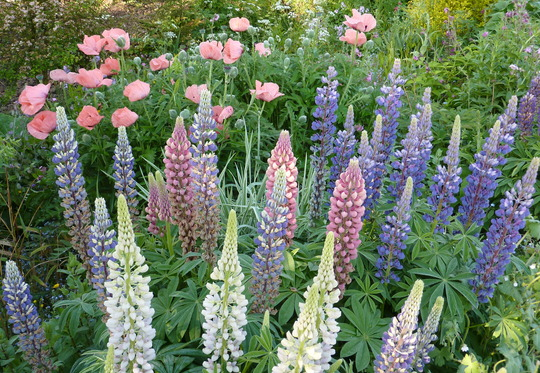 Oriental Poppies and Lupins