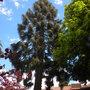 Araucaria bidwillii - Bunya-Bunya Tree (Araucaria bidwillii - Bunya-Bunya Tree)