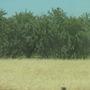 Prunus dulcis - Almond Trees (Prunus dulcis - Almond Trees)