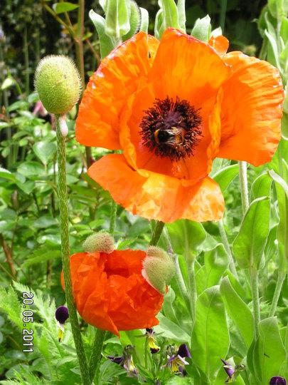 More Poppies (Papaver orientale (Oriental poppy))