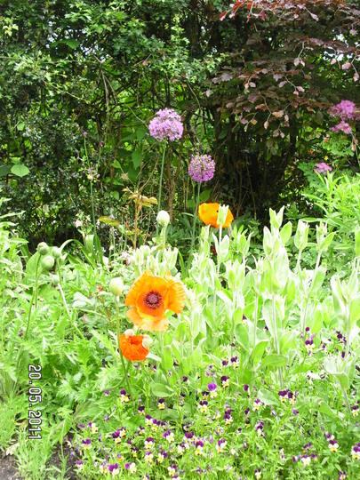 More Poppies (again) (Papaver orientale (Oriental poppy))