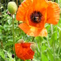 Papaver Orientale: 'Beauty of Livemore' (Papaver orientale (Oriental poppy))