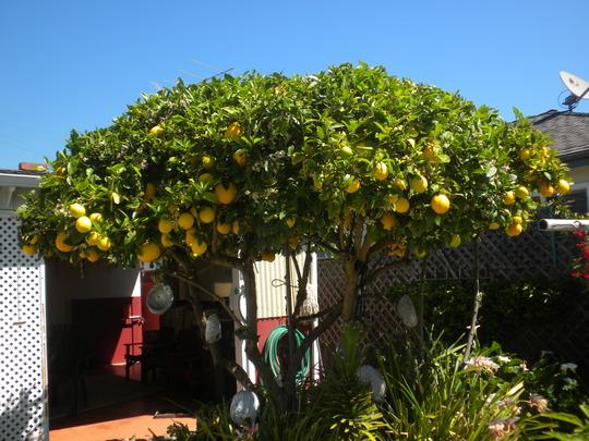 Citrus limon - Lemon Tree (Citrus limon - Lemon Tree)