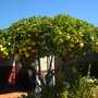 Citrus limon - Lemon Tree (Citrus limon - Lemon Tree)