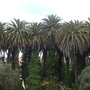 Phoenix canariensis - Canary Island Palms (Phoenix canariensis - Canary Island Palm)