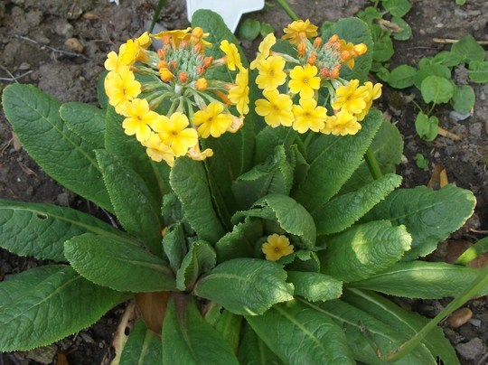 Primula bulleyana (Candelabra primula) is not as tall as usual must be the draught (Primula bulleyana (Candelabra primula))