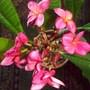 Plumeria 'Moragne #93' (Plumeria rubra 'Moragne #93')