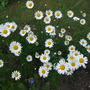 Chrysanthemum_leucanthemum_maximum_polaris_