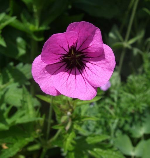 Geranium 'Patricia' (Geranium)