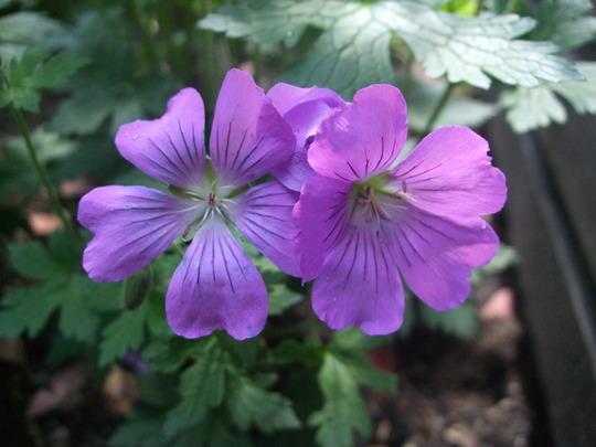 Geranium 'Sirak' (Geranium)