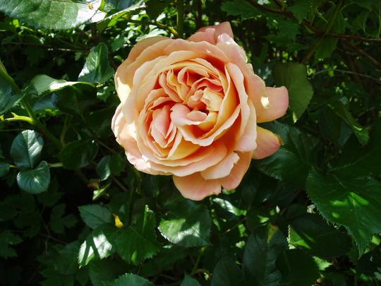 Hybrid Tea Rose 'Whiskey Mac' (Rose)