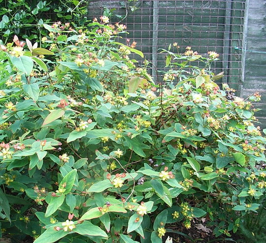 Hypericum androsaenum 'Mrs Gladys Brabazon' (Hypericum androsaenum)