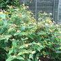 Hypericum androsaenum