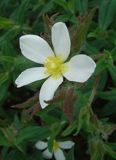 Cistus seedling (Cistus)