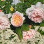 David Austin English Roses , Pyrecantha and Clematis (Rosa Pyrecantha Clematis)