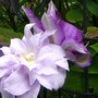 Clematis_2_tones_of_blue_and_peony_bud_plus_tess