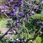 Azalea 'Blue Moon' 04.11 (Rhododendron)