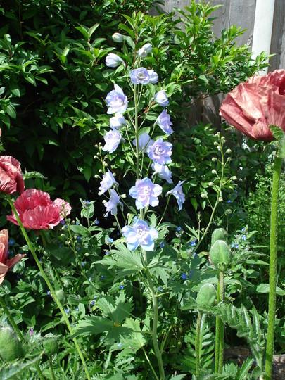 Delphinium with Poppies