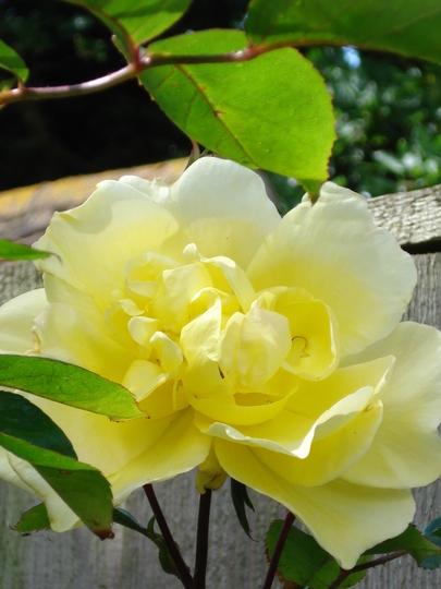 Climbing rose 'Golden showers, fully open