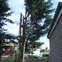 conifer half gone