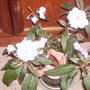 New Guinea Impatiens 'Pink Cream' 12.09 (Impatiens hawkeri)