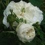 Rosa 'Madame Hardy' (Rosa 'Madame Hardy')