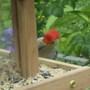 Woodpecker at feeder