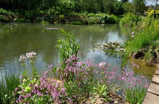 Ragged Robin Enjoying Pond Edge