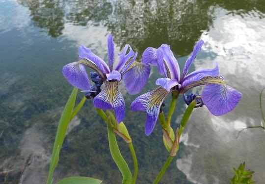 Iris Laevigata Gerald Derby