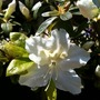 White_rhododendron_in_blue_pot_1