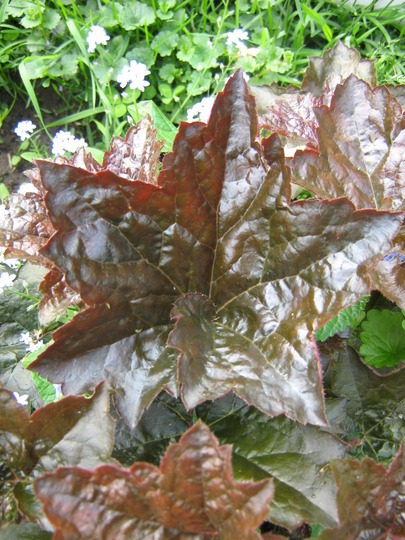 Palace Purple Heuchera..see the swirl at the base of the leaf..?  Looks like some of Marks Begonias, aye?