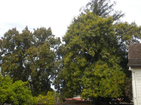 Large, Tall Avocado Trees (Persea americana) (Avocado Trees (Persea americana))