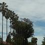 Tall Mexican Fan Palms (Washingtonia robusta) (Mexican Fan Palm (Washingtonia robusta))