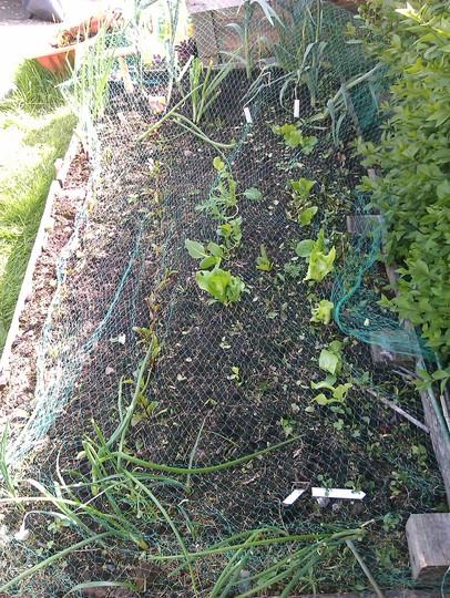 Veg patch (Lactuca sativa (Lettuce))