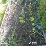 IMAG0001 (Lactuca sativa (Lettuce))