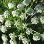 Anthriscus sylvestris (Anthriscus sylvestris (Cow parsley))