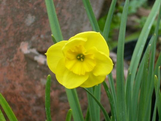 Narcissus 'Sun Disc' (Narcissus 'Sun Disc')